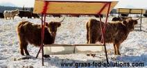 Cattle nutrition tips