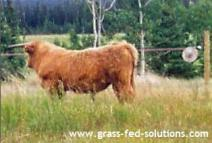 Training Cattle to Electric Fences
