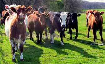 Mixed Breed Cattle Herd