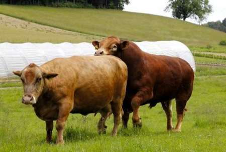 42-Day Cattle Breeding Season
