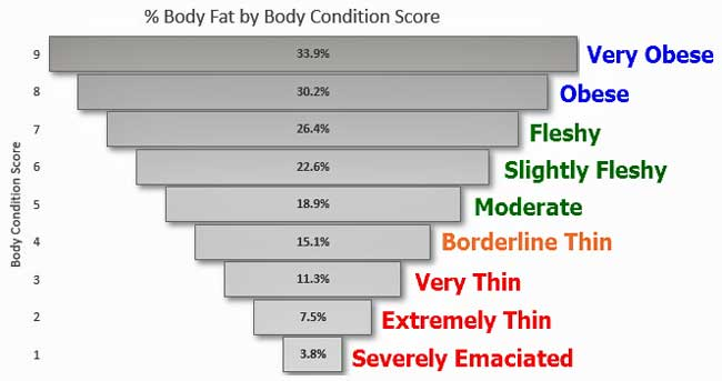 Cattle Body Condition Scores vs Body Fat %