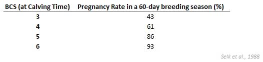 Pregnancy rates based on body condition at calving time