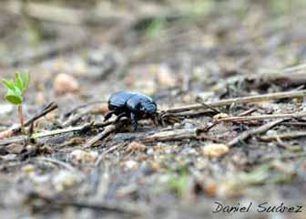 Rancho El Yaqui - escarabajo estercolero