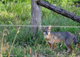 Rancho El Yaqui - zorro gris