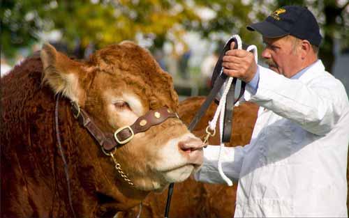 Cattle Genetics