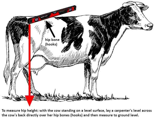 Cattle Hip Height Measurement