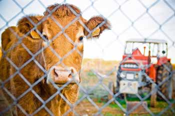 Cow with Tractor