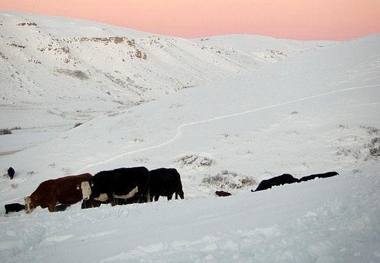 Cattle Grazing Through Snow