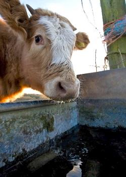 Cattle Water