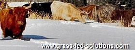 Cattle Water during Winter Grazing