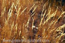 Intensive Grazing Mature Grass