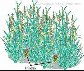Pasture Weeds Management