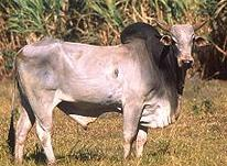Raising Beef Cattle - Zebu