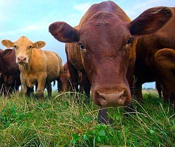 Raising Beef Cattle For Profit