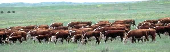 Rotational grazing modelled on wild grazing migrations.