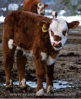 Calving in early spring.