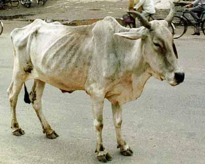 Body Fat vs Cattle Fertility
