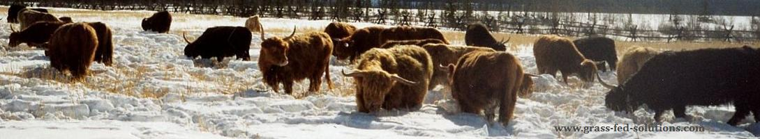 Cattle winter grazing through snow