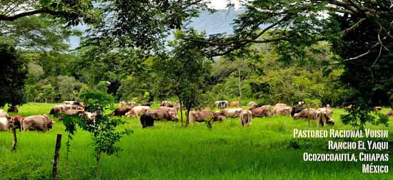 Rancho El Yaqui - ganado