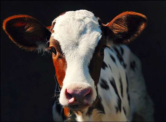 Adolescent Calf