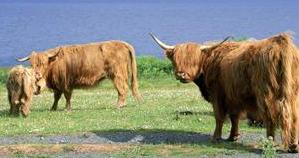 Beef Cattle Breeds: Highland Cattle beside a lake