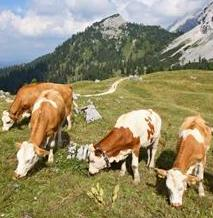 Beef Cattle Breeds: Simmental Cattle in the Alps