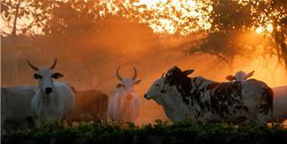 Beef Cattle Breeds: Brahman Cattle