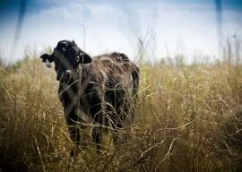 Cattle Nutrition Stress