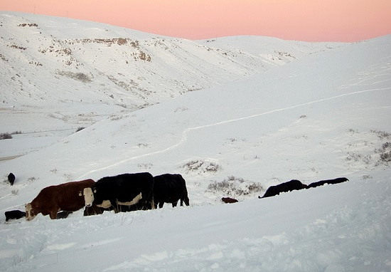 Cattle Grazing Through Snow