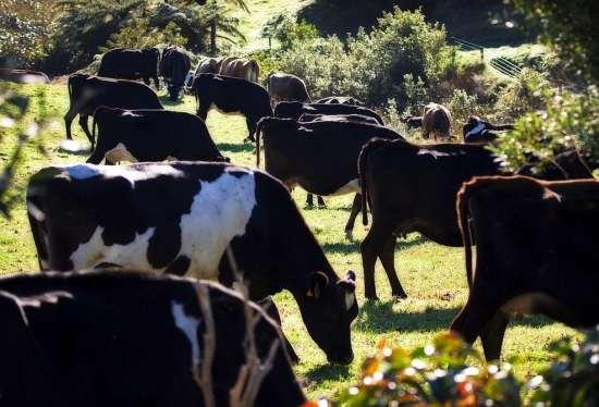 Harnessing Compensatory Gain in Grazing Cattle