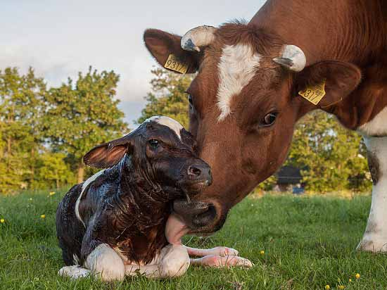 Newborn Calf on Pasture