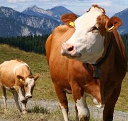 Raising Beef Cattle - Simmental