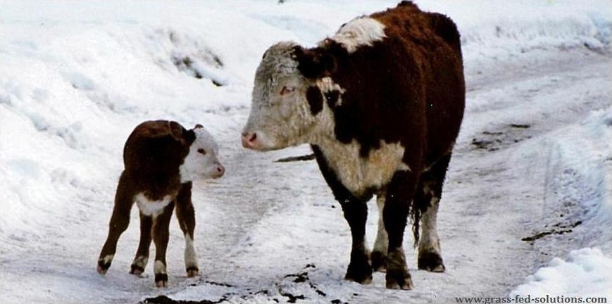 Raising cattle to calve outside of the growing season.